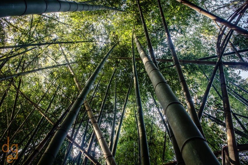 Bamboo Forest on Chattahoochee River_1