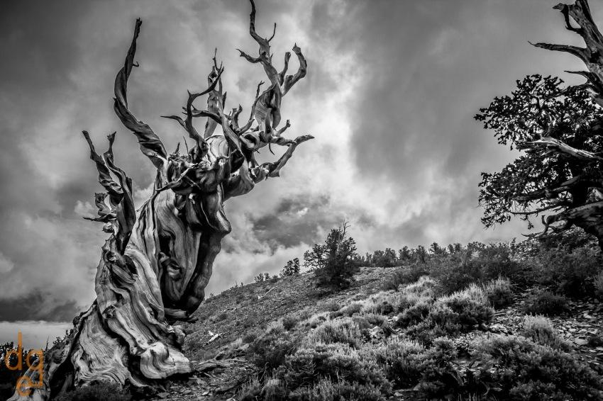 Bristlecone Pines_1