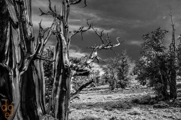 Bristlecone Pines_2