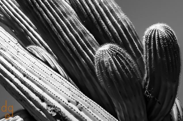 Crowded Saguaro Abstract