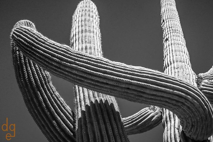 Dancing Saguaros
