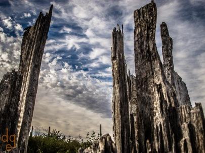 Decaying Saguaros