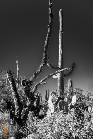 Saguaros in the Rincons-2