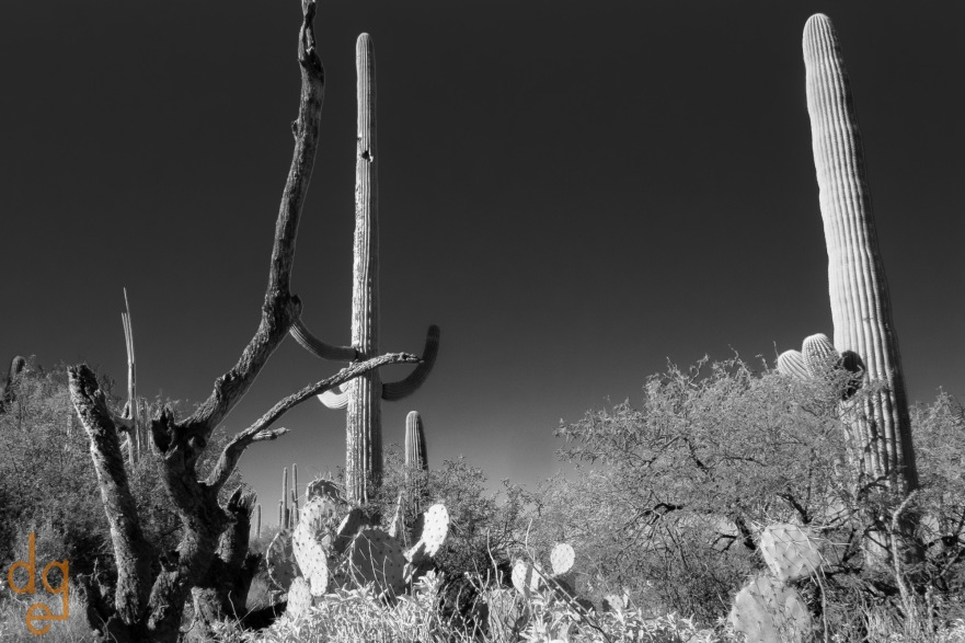 Saguaros in the Rincons
