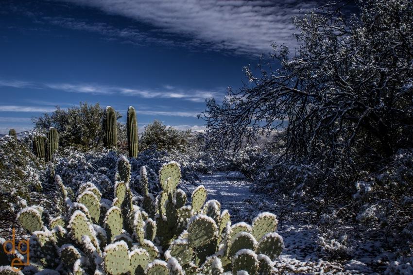 Snow in Saguaro National Park, Tucson, AZ.