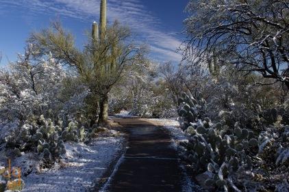 Snow on Saguaros 3