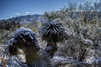 Snow on Saguaros 4