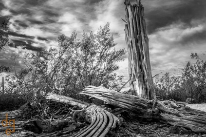 Decaying saguaro cactus in Saguaro National Park Est, Tucson, AZ.