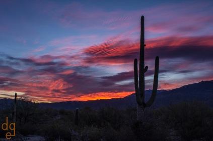 Saguaros at sunrise in the national park, Tucson, AZ.